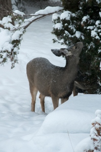 deer-007-small