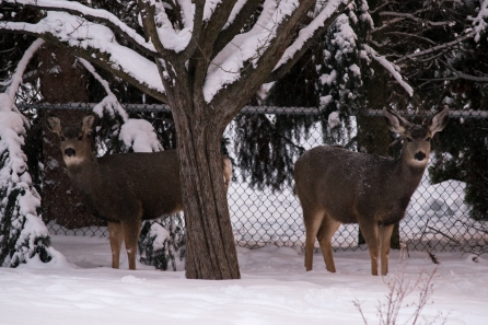 deer-037-small